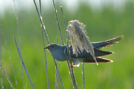 Common cuckoo (Cuculus canorus) on reed against green background