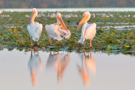 White Pelican (Pelecanus onocrotalus) on Water Lilies Leaves in Sunset Light