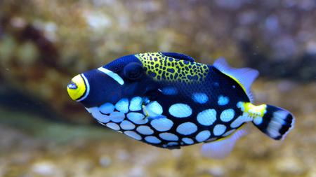Clown Triggerfish (Balistoides conspicillum) in Aquarium against Coral Background Stock Photo