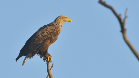 White Tailed Eagle (Haliaeetus albicilla) on a tree Imagens