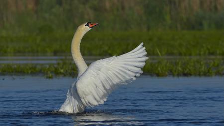 Mute Swan (Cygnus olor) Male Shaking