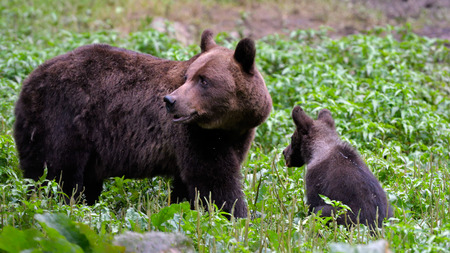 Wild Brown Bear  (Ursus arctos) Mother with little Cub in Carpathian Mountains, in Green Grass Stock Photo