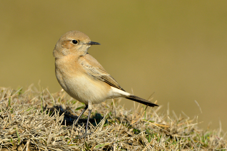 Desert wheatear (Oenanthe deserti), Female, on the Ground Reklamní fotografie