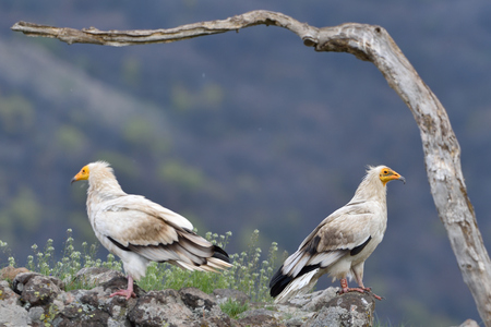 Pair of Egyptian Vulture (Neophron percnopterus) in the Top of The Mountains Stock Photo