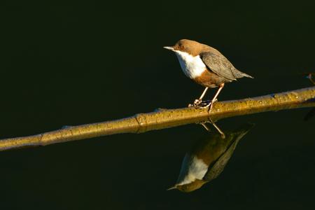 White-throated dipper (Cinclus cinclus) on a Stick