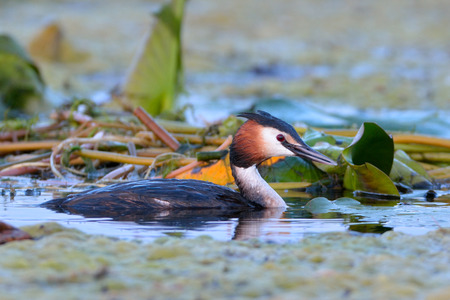Great crested grebe (Podiceps cristatus) on water