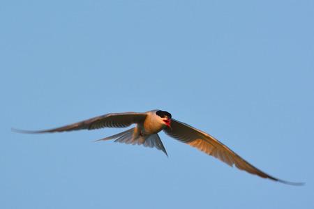 일반적인 제비 갈매기 (Sterna hirundo) 비행 중