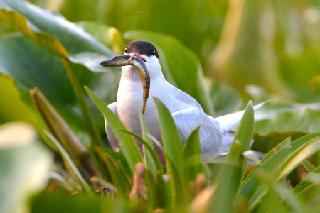 Common tern (Sterna hirundo) on vegetation, with a baby pike in beak