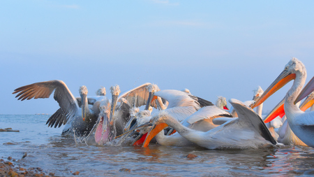 Dalmatian Pelican (Pelecanus crispus) Fishing Stock Photo