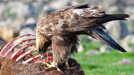 Golden Eagle (Aquila chrysaetos) Eating from A Carcasse in Mountains Stok Fotoğraf