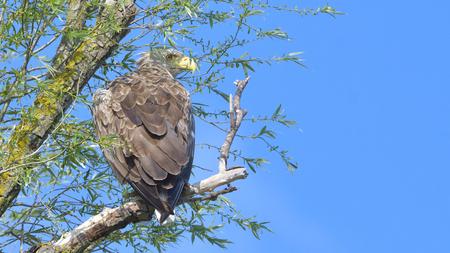 White Tailed Eagle (Haliaeetus albicilla) on a tree Stock Photo
