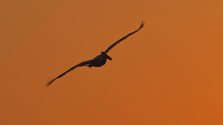 White Pelican (Pelecanus onocrotalus) Silhouette in Flight, in Sunset Light