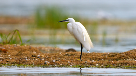 Little egret (Egretta garzetta) fishing in shallow water 版權商用圖片
