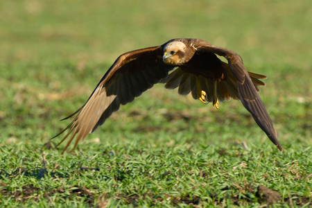 Marsh harrier (Circus aeruginosus) female, in flight