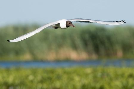 Black Headed Gull (Chroicocephalus ridibundus) in Flight