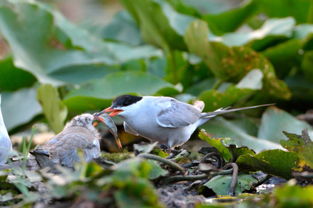 Common tern (Sterna hirundo) mother, offer a fish to the chick