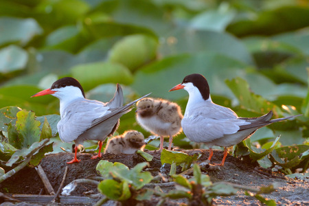 Common tern (Sterna hirundo) on colony, with chick