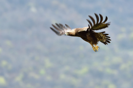 Golden Eagle (Aquila chrysaetos) in Flight, in Eastern Rhodopes Mountains Stok Fotoğraf
