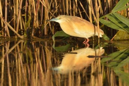 Squacco Heron near Reed in Danube Delta