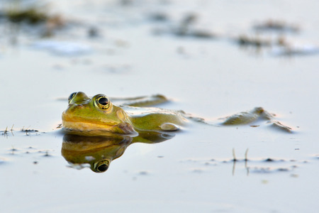 Edible Frog on Water in Summer