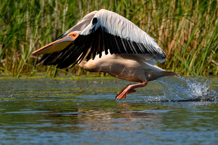 White Pelican (Pelecanus onocrotalus) Taking Off from Water Stok Fotoğraf
