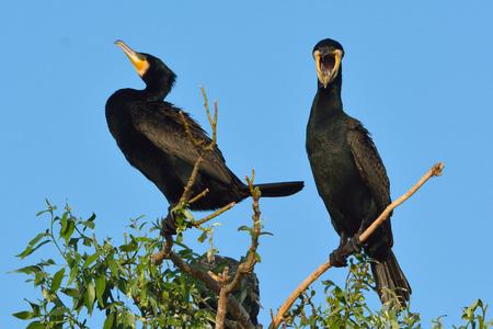 Great cormorant (Phalacrocorax carbo) on tree Stok Fotoğraf