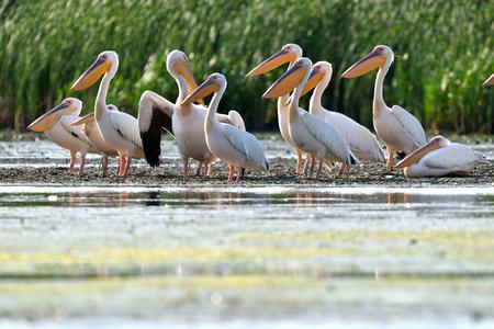 White Pelicans (Pelecanus onocrotalus) Resting on Shore