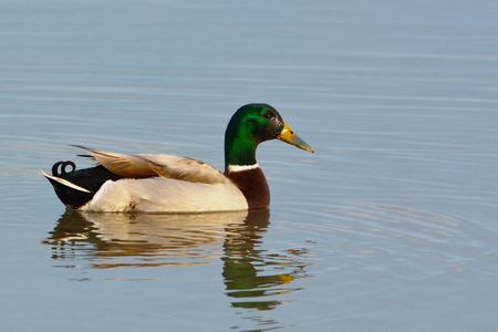 Mallard Duck (Anas platyrhynchos) on Water, in Winter Standard-Bild