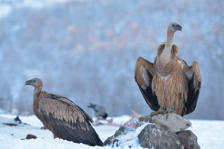 Griffon Vulture (Gyps fulvus) Resting on a Rock, in Mountains, in Winter
