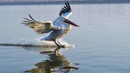 Dalmatian Pelican (Pelecanus crispus) LAnding on Water