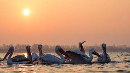 Dalmatian Pelicans (Pelecanus crispus) on Water, in Sunrise Light