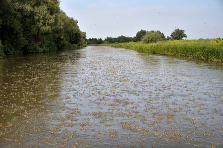 Large number of Long-tailed Mayflies emerging on the water surface on a Danube Delta Channel