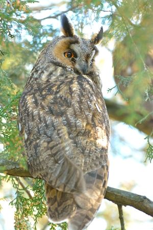 Long Eared Owl (Asio otus) on fir tree Stok Fotoğraf