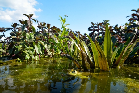Edible Frog on Water in Summer, in a natural enviromental landscape
