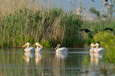 White Pelicans (Pelecanus onocrotalus) Group, on Water, in Summer