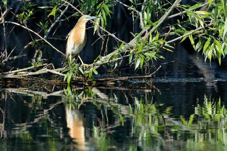 Squacco Heron (Ardeola ralloides) on a Branch