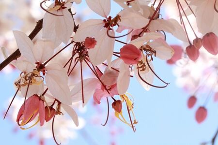 cassia: Flowers: Cassia bakeriana craib Stock Photo