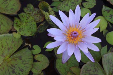 waterlilly: purple waterlilly; Nymphaea
