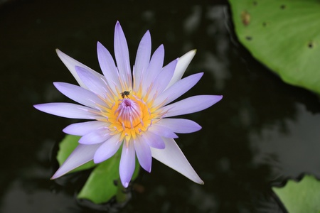 nymphaea: purplr waterlily with bee