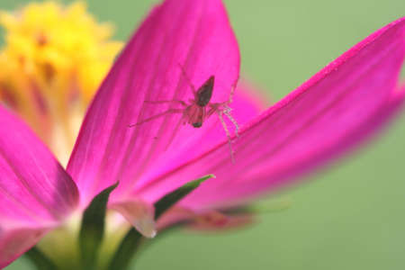spider on the flower, epeus_flavobilineatus photo
