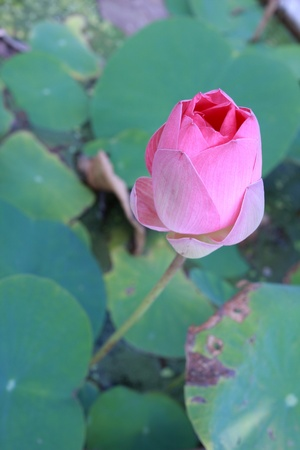 pink lotus; Nelumbo nucifera photo