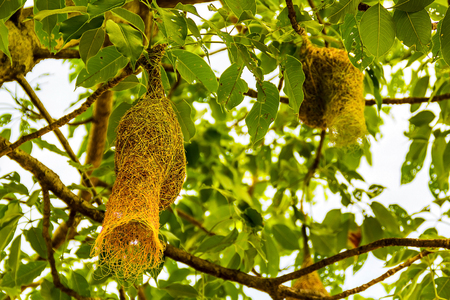 Baya weaver bird nest on branch of the tree in the nature