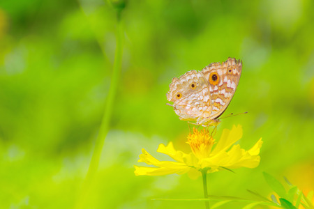 Yellow butterfly flying and collecting nectar on yellow cosmos flower with selective soft focus and blurry background. Stock Photo