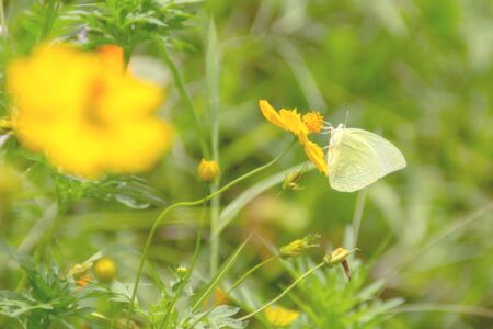 Yellow butterfly flying and collecting nectar on yellow cosmos flower with selective soft focus and blurry background.  Imagens