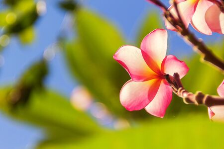 Closeup Plumeria pink flowers under sunlight flare effect with selective soft focus on nature background.