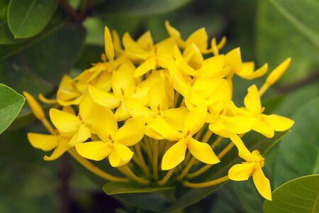 Closeup yellow ixora flower in the garden on green leaves background