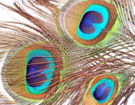peafowl: Feathers of peacock or peahen also known as Blue peafowl or Indian peafowl