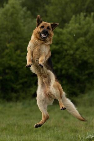 german shepherd dog: Jumping German Shepherd dog