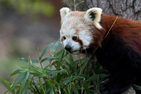 blades: Red panda eating bamboo blades