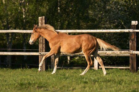 appaloosa: Appaloosa foal playing on the meadow